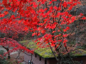 A maple tree in