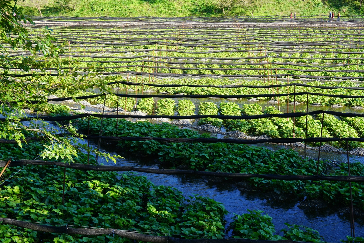 wasabi grown at daio wasabi farm
