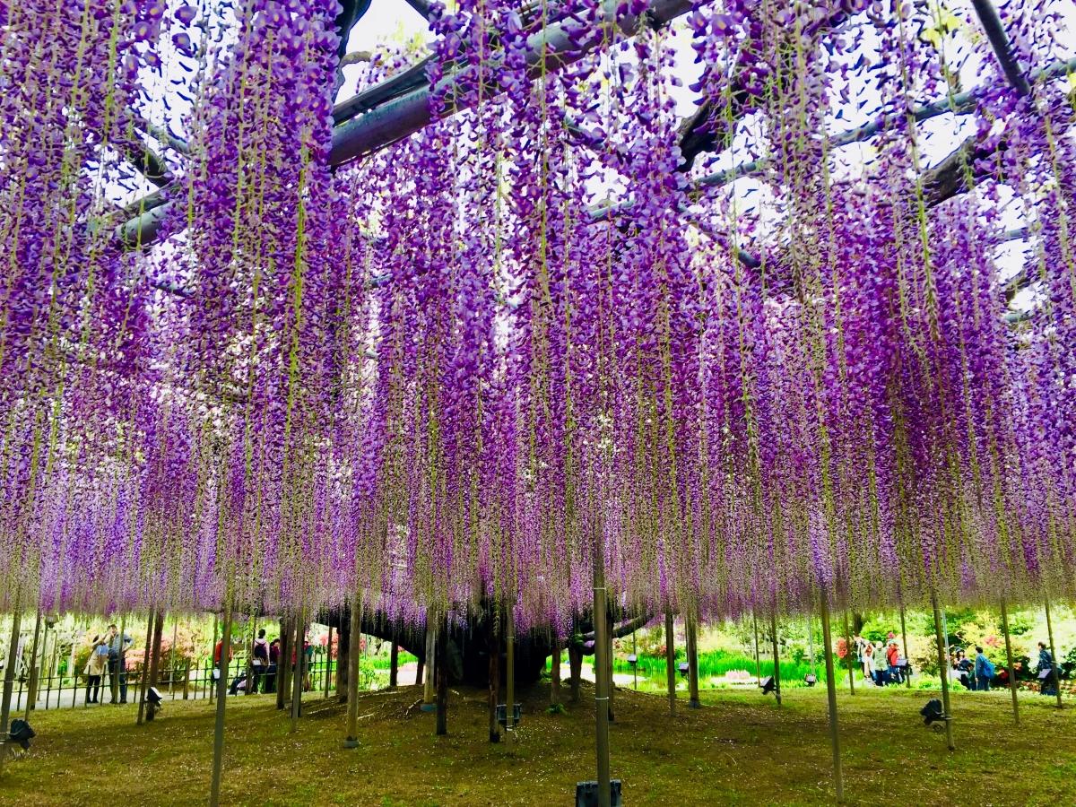 ashikaga flowe park