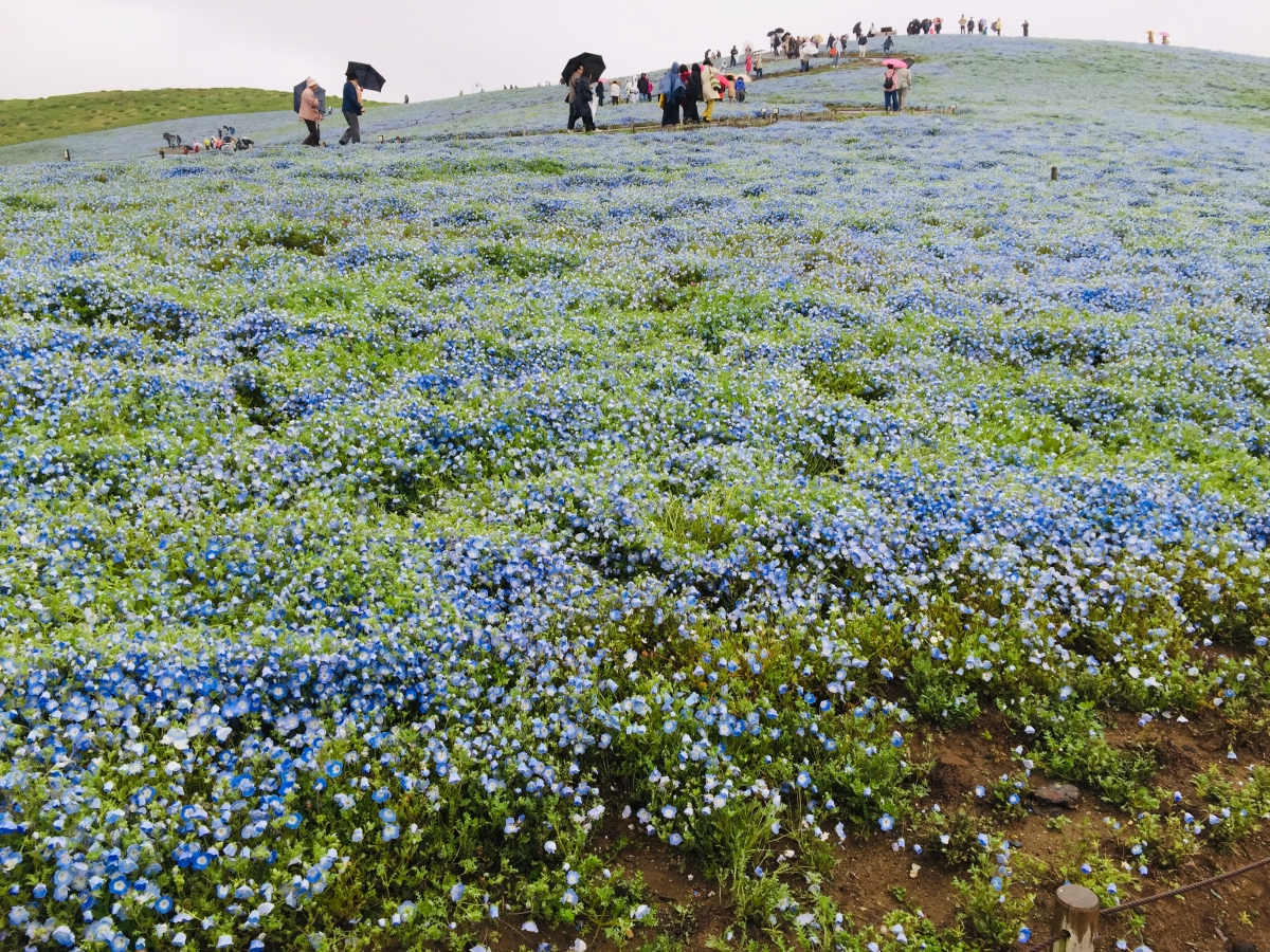 Hitachi flower park